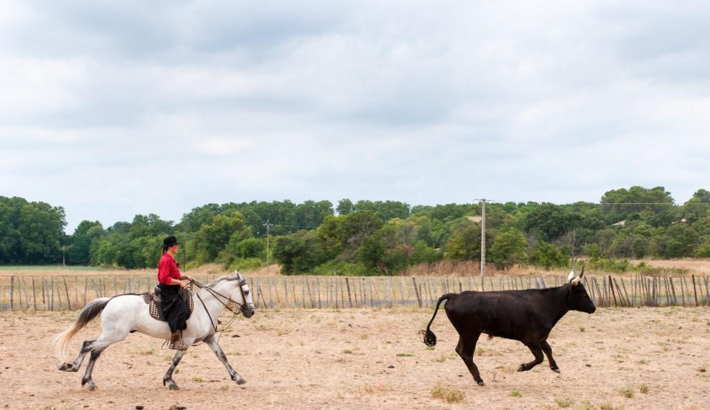 Stierfarm in Südfrankreich